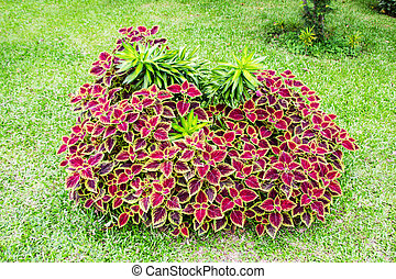 Coleus plants with colorful leaves