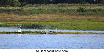Wetland With White Swans