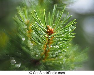 water droplets on the pine