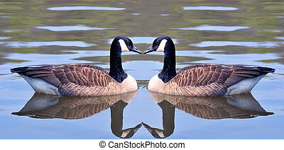 Love Birds - Two canadian geese forming an heart shape