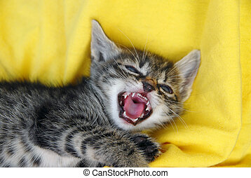 Baby cat portrait - little angry baby cat opened mouth over...