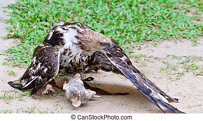Changeable Hawk Eagle Nisaetus limnaeetus are learning to...