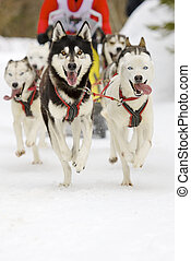 sled dogs - front view of siberian sled dog huskys at race...
