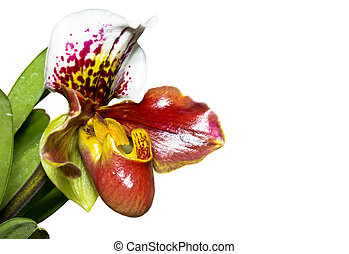 Slipper Orchid ( Paphiopedilum ) Exotic flowers isolated on...