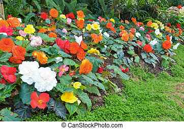 Begonia flower Garden - Many color begonia in small flower...