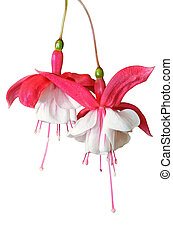 Lady's Eardrops ( Fuchsia ) flowers isolated on white -...