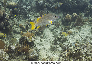 Schoolmaster fish - lonely schoolmaster fish in coral reef