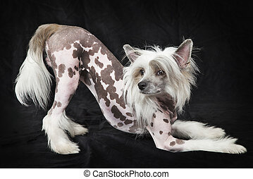 Hairless Chinese Crested dog, 1,5 years old, standing in...