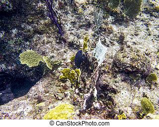 Yellowtail damselfish swimming in a coral reef