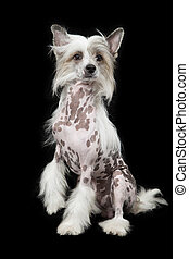 Hairless Chinese Crested dog sitting over black - Hairless...