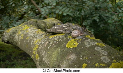 common chameleon and snail - common chameleon in the old...