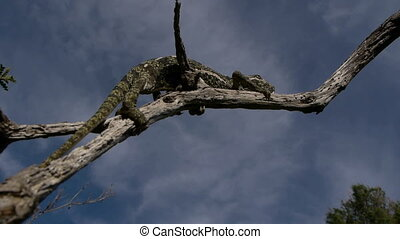 common chameleon, climbing branch with blue sky background