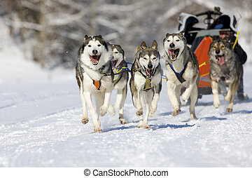 sleddog race - musher hiding behind sleigh at sled dog race...