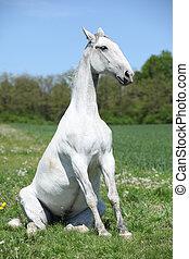 Amazing sitting horse in nature - Amazing sitting white...