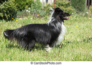 Amazing sheltie in the garden - Amazing sheltie smiling in...