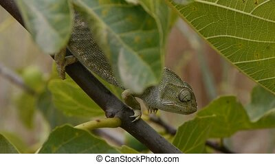 common female chameleon walk through the leaves of fig tree