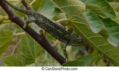common female chameleon walking in fig