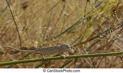 small chameleon - small branch chameleon walking beside a...