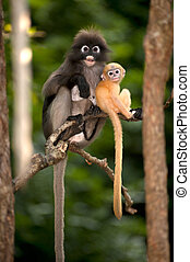 Mother and son monkeys are mischievous ( Presbytis obscura...