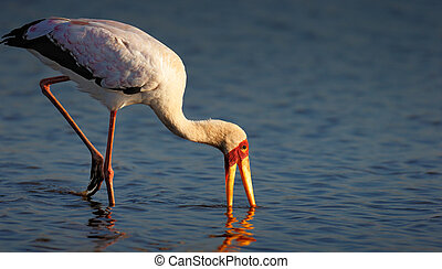 Yellow-billed stork in water - Yellow-billed stork Mycteria...