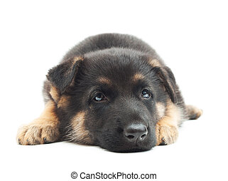 German Shepherd puppy waiting for his master, close-up