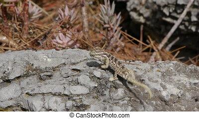 small chameleon - Small chameleon walking on the stones