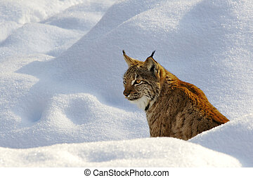 Lynx lynx - Lynx in snow