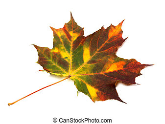 Multicolor autumnal maple leaf Isolated on white background