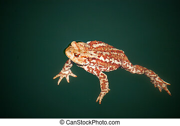 Swimming toad