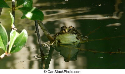 grass frog in the pond resting on a branch over the water