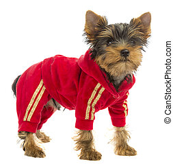 dog in a tracksuit on a white background
