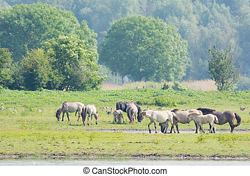 Konik horses in nature landscape in Holland