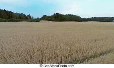 Flying over organic barley field - Camera flying over a...