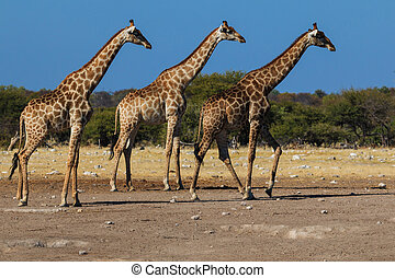 Giraffes, three in a row - Three giraffes walking in sync