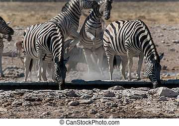 Group of zebras drinking and playing - A group of zebras...