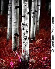 Aspen Birch trees in fall autumn - Detail of fall autumn...