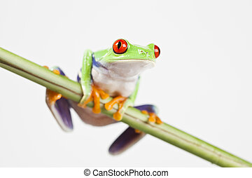 -, カエル, じろじろ見られた, 動物, 小さい, 赤