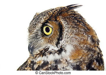Profile of a Great Horned owl on white - Profile of Great...