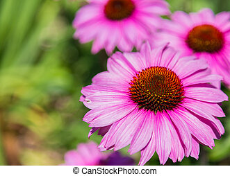 Purple coneflower - Closeup to a Purple coneflower during...