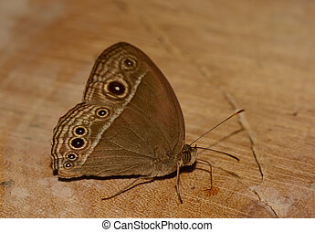 side view of brown butterfly (Mycalesis perseus) standing...