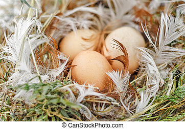 Eggs in the nest - Three brown eggs in the nest