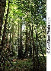 Redwood forest - Redwoods