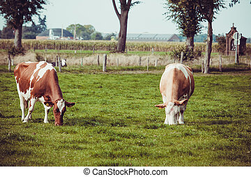 Cows on meadow with green grass. Grazing calves