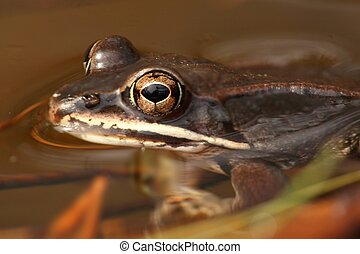 Wood Frog Rana sylvatica swimming in a pond