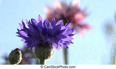 Cornflowers in the Water Particles