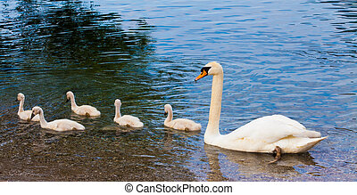 Swan with chicks. Mute swan family. Beautiful young swans in...