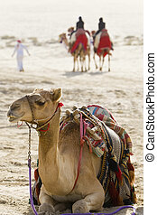 Camels In An Arabian Desert - A camel sitting down in an...
