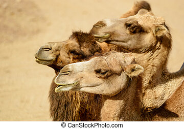 Bactrian camel, Camelus bactrianus, here are three...