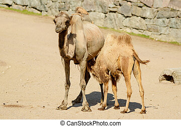 Bactrian camel, Camelus bactrianus, here is one calf...