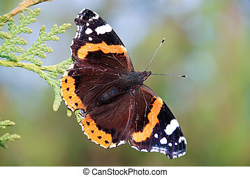 Red Admiral butterfly - Red Admiral Vanessa atalanta...
